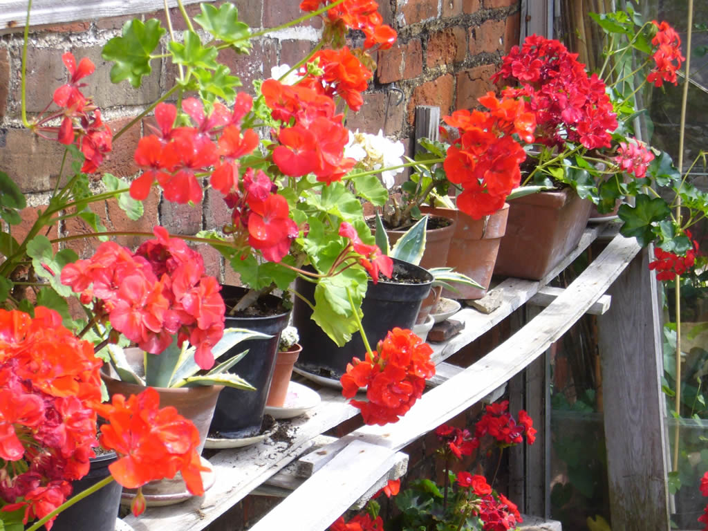 Pelargoniums at the Hidden Gardens of Bury St Edmunds